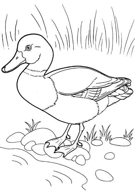 mandarin duck coloring pages coloring pages