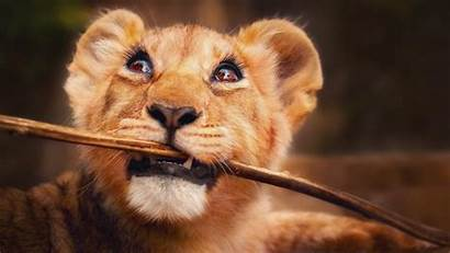 4k Funny Animals Lion Wallpapers Wild 2k