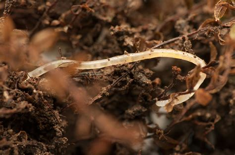 small white worms in garden soil what are pot worms what to do for white worms in compost