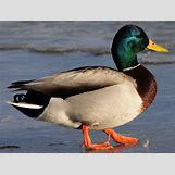 Drake Mallard Duck   1024 x 775 jpeg 366kB
