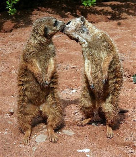 cute pictures  animals kissing