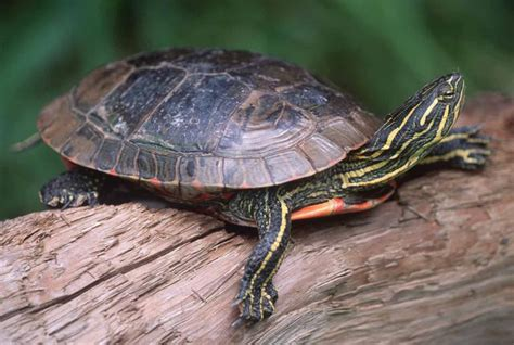 CalPhotos: Chrysemys picta bellii; Western Painted Turtle
