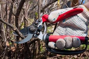 Wann Müssen Apfelbäume Geschnitten Werden : johannisbeeren schneiden so machen sie es richtig ~ Lizthompson.info Haus und Dekorationen