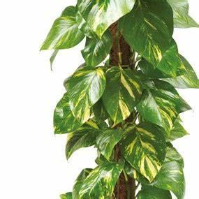 Grande Plante D Intérieur Facile D Entretien : plante verte d 39 int rieur pothos livraison domicile ~ Premium-room.com Idées de Décoration