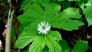 Goldenseal Plants For Sale