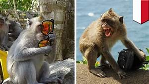 Monkey Thieves  Troop Of Monkeys In Bali Observed Stealing