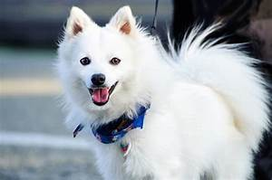 Japanese Spitz Cross Breed Pomeranian | www.pixshark.com ...