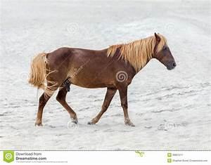 Assateague Wild Pony Stock Photo - Image: 38861511