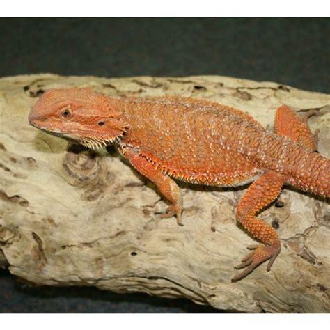 red phase bearded dragons amazing amazon
