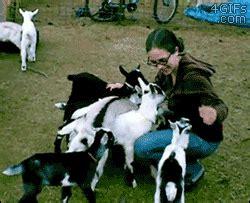 baby goat swarm  died
