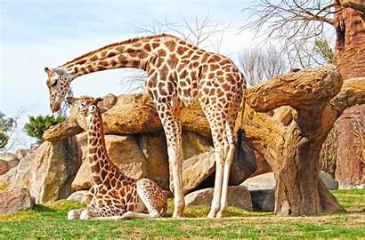 Giraffe Wallpapers Animal Pixelstalk