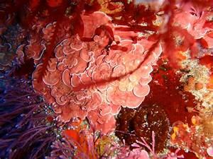 File:Crustose coralline algae, South East Bay, Three Kings ...