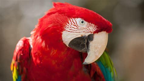 wallpaper macaw parrot tropical bird red animals
