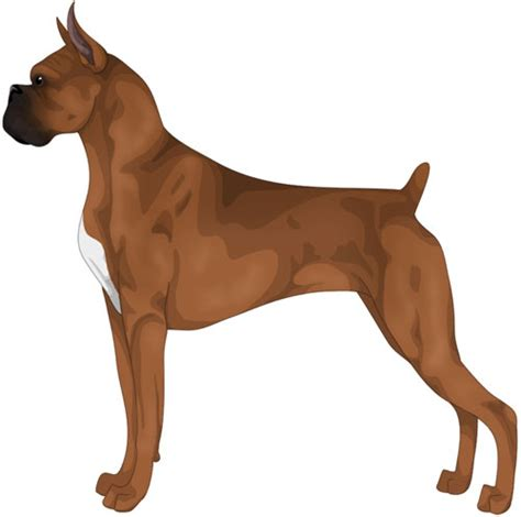 boxer colors fawn boxer information