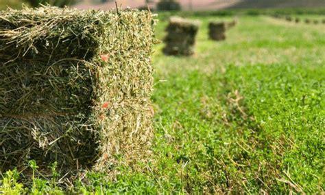 implantar alfalfa  henificar cuesta  mas