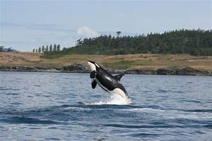 Time Is Running Out For Salish Sea Orcas