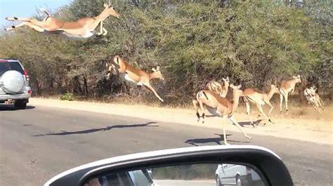 Impala Jumps Into Car To Escape Cheetah