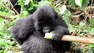 mountain gorilla eating bamboo - YouTube