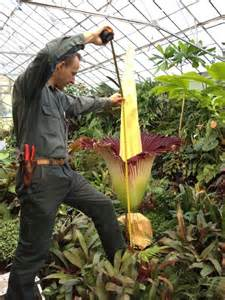 corpse flower is measured at melbourne s botanic gardens