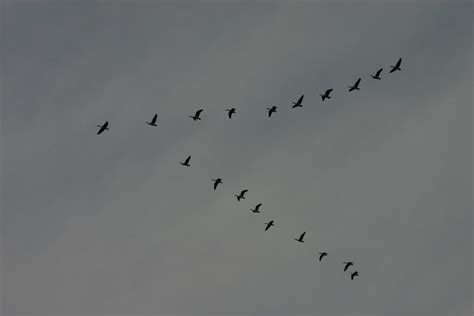 Migrating Geese Formation By Foxstox On Deviantart