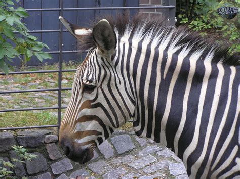 zebra wallpapers images  pictures backgrounds