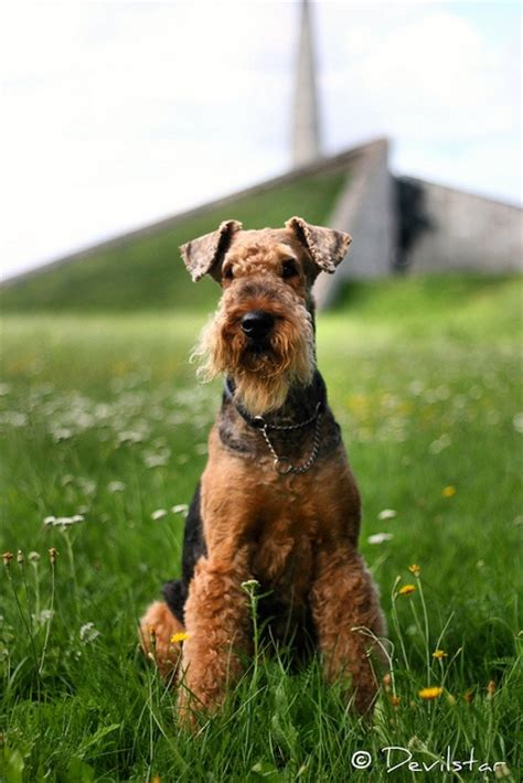 airedale images  pinterest airedale terrier