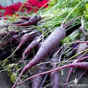 Cosmic Purple Carrot | SeedGeeks Heirloom Seeds