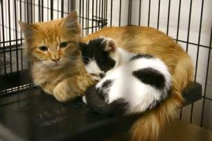 spca cats adoption fee waived on spca cats 1 year and kittens