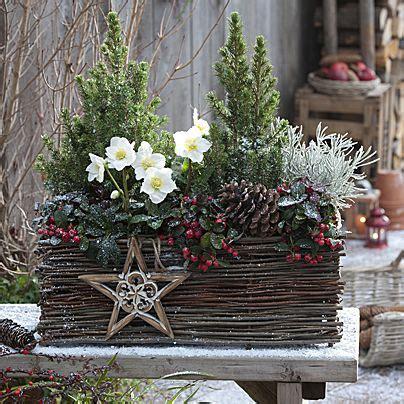 weihnachtsdeko im außenbereich 25 einzigartige christrose ideen auf weihnachtliche pflanzt 246 pfe f 252 r drau 223 en winter