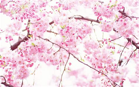 pink and white l white and pink flowers wallpaper wallpapersafari