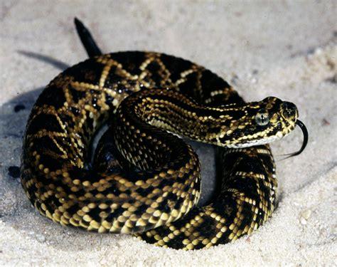 snake, Reptile, Snakes, Predator, Rattlesnake Wallpapers ...