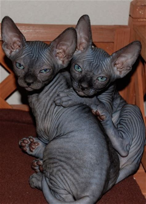 How Much Does A Sphynx Cost  Hairless Cat Price Sphynx