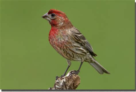 house finch song my temple of nature a this a that