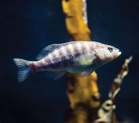 comber painted fish aquarium zone malta