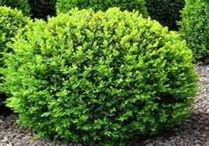 Buxus sempervirens American Boxwood Designs By Lee