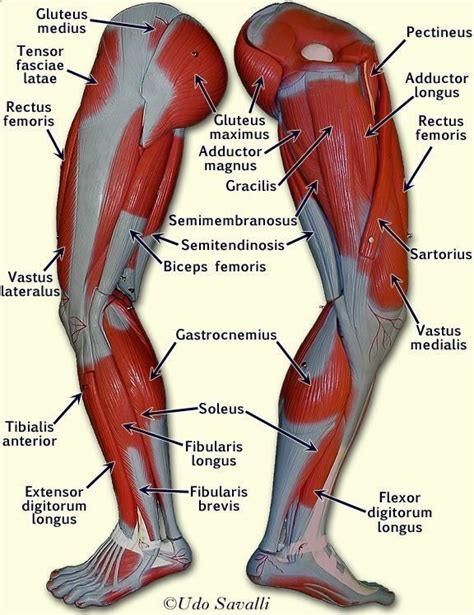 Muscles are covered by a thicker layer of subcutaneous tissue the accompanying muscle diagram further reveals the positions of the muscles in this pose. Pin by ashlee brown on nursing :) | Leg muscles anatomy ...