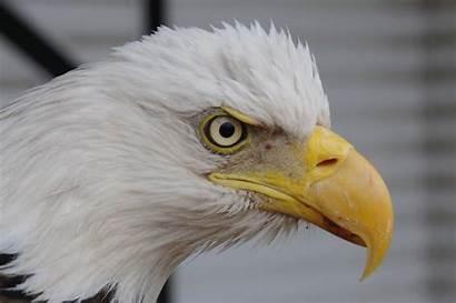 Eagle Eye Bald Eyes Eagles Vision Characteristics