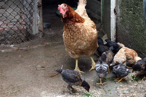 alternative to heat l for chickens hen with