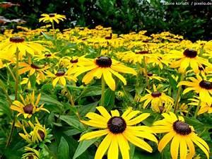 Gelbe Winterharte Pflanzen : sonnenhut echinacea pflege pflanzen d ngen schnitt ~ Markanthonyermac.com Haus und Dekorationen
