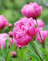 Peonies Flowers Photography