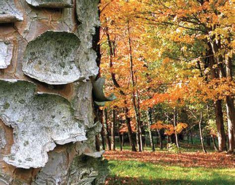 larboretum  la loupe les arbres damerique lorraine