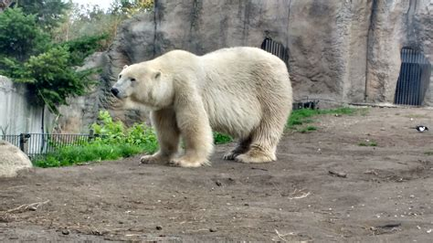 zoo rotterdam polar bear netherlands bears water animals countries there