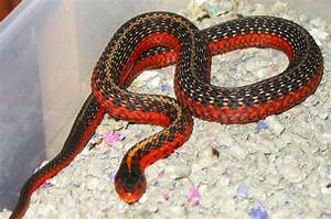 85 best images about Snake Morphs on Pinterest | Black ...
