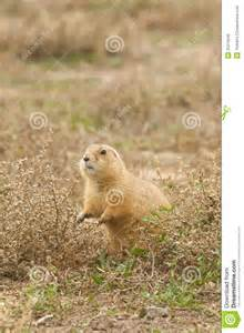 Cute Prairie Dogs