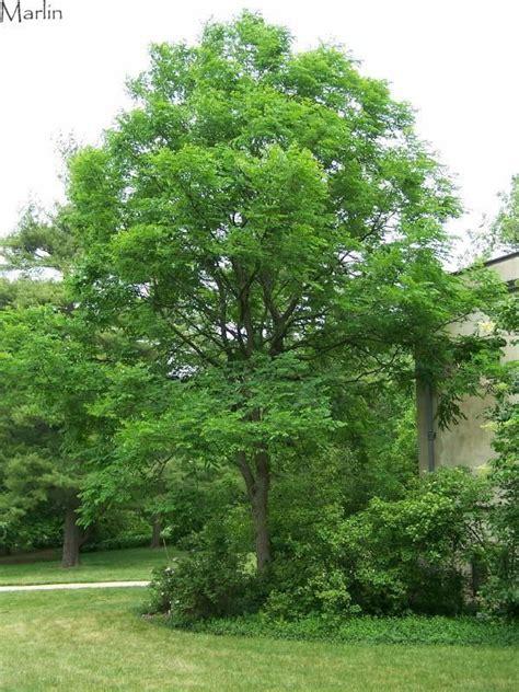 Tree list fact sheet previous next. Kentucky Coffee Tree - Gymnocladus dioicus | Kentucky ...