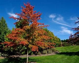 GardensOnline: Quercus palustris