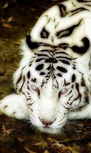 White tigers, Wild life and Tigers on Pinterest