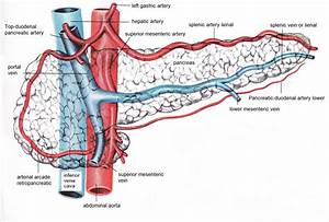 pancreatic veins | ... arteries and head to the portal ...