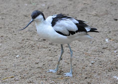 File:Recurvirostra avosetta qtl1.jpg - Wikimedia Commons