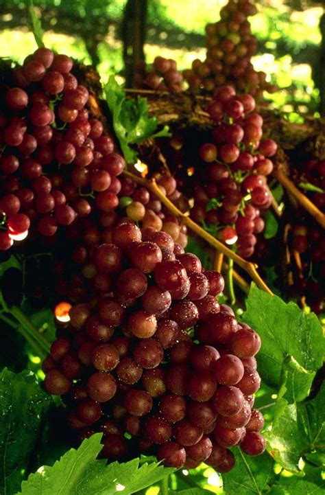 vern nelson  great table grapes  grow